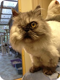 Persian Cat for adoption in Maple Ridge, British Columbia - Hedwig