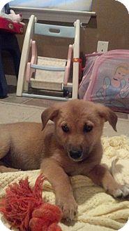 German Shepherd Dog/Labrador Retriever Mix Puppy for adoption in Snohomish, Washington - Big Ben