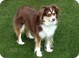 Australian Shepherd Mix Dog for adoption in Big Canoe, Georgia - Sadie
