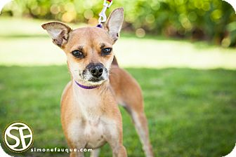 Chihuahua Mix Dog for adoption in Los Angeles, California - SAPPHIRE