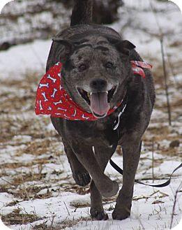 Catahoula Leopard Dog Mix Dog for adoption in Brattleboro, Vermont - Jiggy