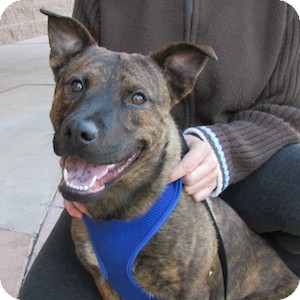 German Shepherd Dog/Akita Mix Puppy for adoption in Gilbert, Arizona - Murphy