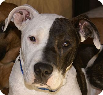 Pit Bull Terrier/Staffordshire Bull Terrier Mix Puppy for adoption in Allentown, Pennsylvania - Oreo