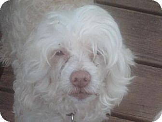 Chinese Crested Dog for adoption in Kingston, New York - Charlie (NC)