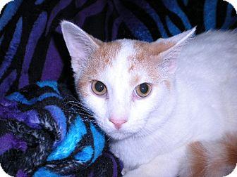 Domestic Shorthair Kitten for adoption in New Castle, Pennsylvania - Spongebob