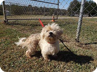 Maltese Dog for adoption in Thomaston, Georgia - Snowball
