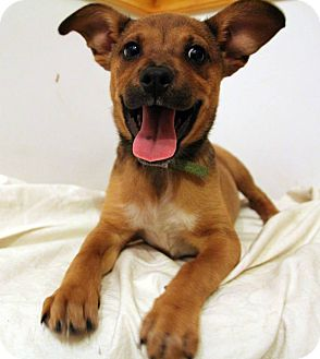 Terrier (Unknown Type, Small)/Feist Mix Puppy for adoption in Broadway, New Jersey - Mia