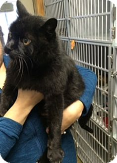 Domestic Shorthair Cat for adoption in Cody, Wyoming - Carl