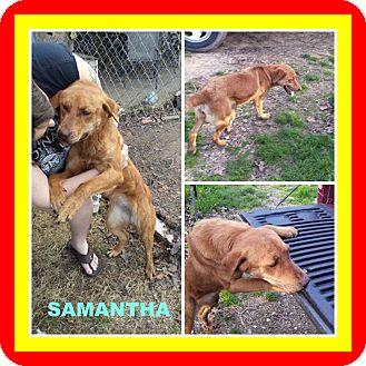 Labrador Retriever Mix Dog for adoption in Malvern, Arkansas - SAMANTHA
