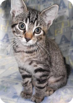 Domestic Shorthair Kitten for adoption in Lombard, Illinois - Minnie