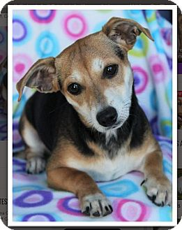 Beagle/Dachshund Mix Puppy for adoption in Red Bluff, California - Kimberly