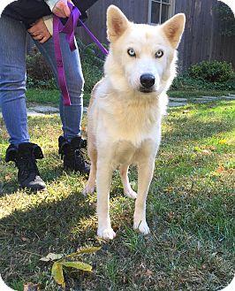 Husky/Shepherd (Unknown Type) Mix Dog for adoption in Bedford Hills, New York - Bella