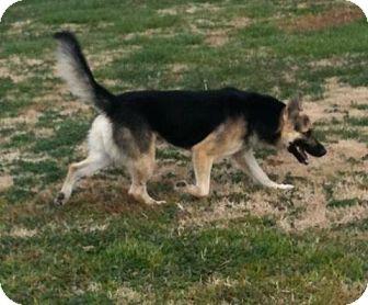 German Shepherd Dog Dog for adoption in Greenville, Kentucky - Brutus