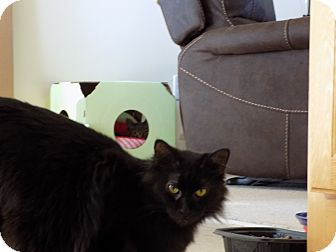 Domestic Mediumhair Cat for adoption in Roseville, Minnesota - cinders(endearing)