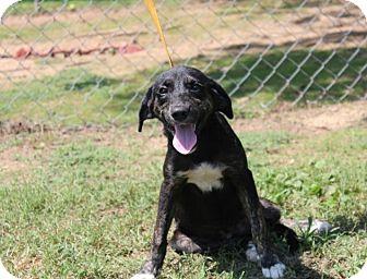 Shepherd (Unknown Type)/Hound (Unknown Type) Mix Puppy for adoption in Conway, Arkansas - ShyAnne