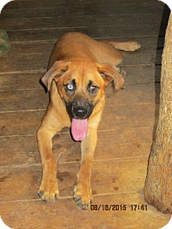 Hound (Unknown Type)/Australian Cattle Dog Mix Dog for adoption in Portland, Maine - JAVA