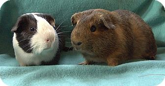 Guinea Pig for adoption in Highland, Indiana - Wurmple