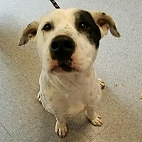 Dalmatian/American Staffordshire Terrier Mix Dog for adoption in Asheville, North Carolina - Dim (Courtesy)