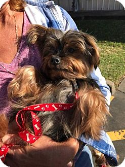 Yorkie, Yorkshire Terrier Dog for adoption in Spring, Texas - Zz