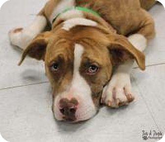 American Bulldog/Boxer Mix Puppy for adoption in Yukon, Oklahoma - Missy