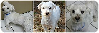 Maltese Mix Dog for adoption in Forked River, New Jersey - Coco