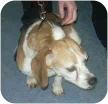 Beagle Dog for adoption in West Warwick, Rhode Island - Reno