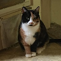 Calico Cat for adoption in Cincinnati, Ohio - Minnie