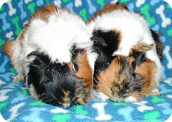 Guinea Pig for adoption in Highland, Indiana - Chocoalte Chip