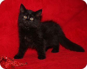 Domestic Mediumhair Cat for adoption in Marietta, Ohio - Yang