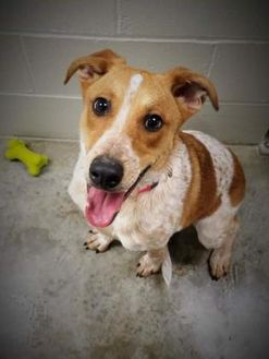 Beagle/Australian Cattle Dog Mix Dog for adoption in Paducah, Kentucky - Bindi