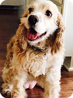 Cocker Spaniel Mix Dog for adoption in Sacramento, California - Cherri