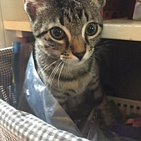 Adopt A Pet :: Tiger - Alpharetta, GA