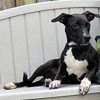Adopt A Pet :: Bart - Yardley, PA