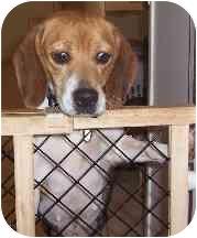 Beagle Dog for adoption in Portland, Ontario - Clara
