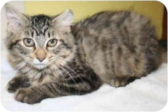 Domestic Mediumhair Kitten for adoption in Byron Center, Michigan - Gwendolyn