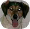 Australian Shepherd/Beagle Mix Dog for adoption in Hamilton, Ontario - Sugar