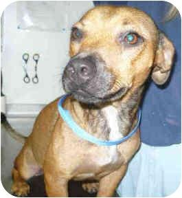 Labrador Retriever Mix Dog for adoption in San Clemente, California - MAMBA