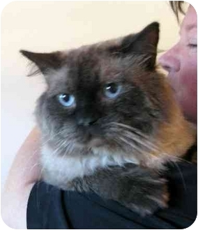 Scottish Fold Cat for adoption in Davis, California - Marmaduke