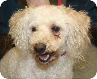 Poodle (Miniature)/Bichon Frise Mix Dog for adoption in Berea, Ohio - Pogo
