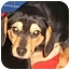 Photo 2 - Beagle Puppy for adoption in Buffalo, New York - Monty: 9 months, Purebred