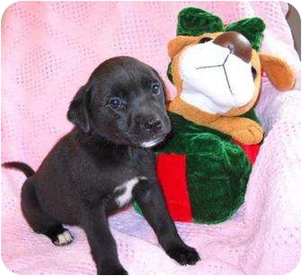 Labrador Retriever Mix Puppy for adoption in Salem, New Hampshire - Amethyst