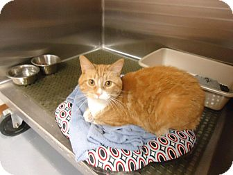 Domestic Shorthair Cat for adoption in New London, Wisconsin - Liam