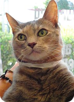 Domestic Shorthair Cat for adoption in Mission Viejo, California - Snuggles
