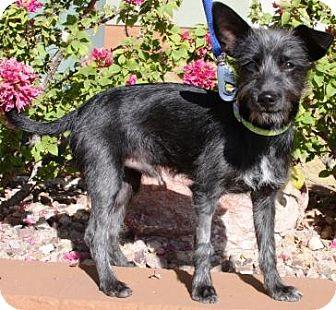 Schnauzer (Miniature)/Terrier (Unknown Type, Small) Mix Puppy for adoption in Gilbert, Arizona - Lobito-Tao