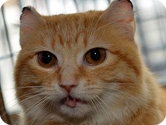 Polydactyl/Hemingway Cat for adoption in Brooklyn, New York - Apple