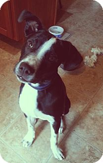 Labrador Retriever/Border Collie Mix Dog for adoption in East Hartford, Connecticut - Sylvester in CT