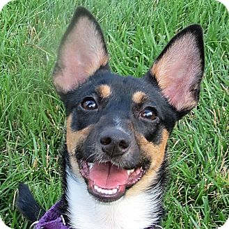 Rat Terrier/Chihuahua Mix Puppy for adoption in Columbia, Illinois - Cherrios