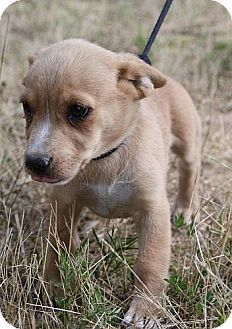 Jack Russell Terrier/Chihuahua Mix Puppy for adoption in Spring Valley, New York - Phoebe (In New England)
