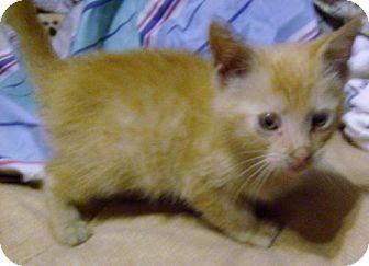 Domestic Mediumhair Kitten for adoption in Marion, North Carolina - Rascal