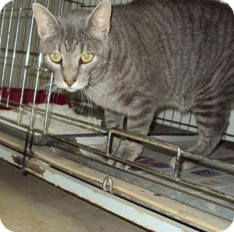 Domestic Mediumhair Cat for adoption in Mt. Vernon, Illinois - Tabby